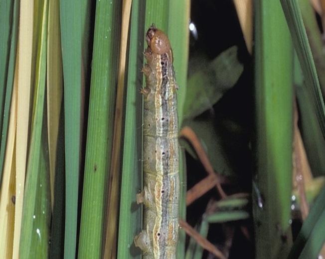 MYTHIMNA: Una plaga que pot ser devastadora pel blat de moro