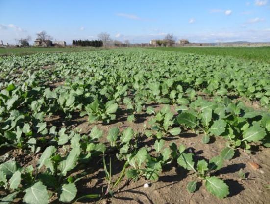 Cultius captadors de nitrogen per evitar el rentat de nitrat