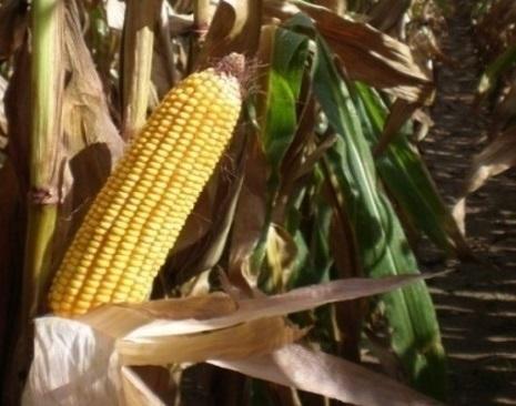 Varietats de blat de moro per a gra: Coneix els resultats de la xarxa IRTA