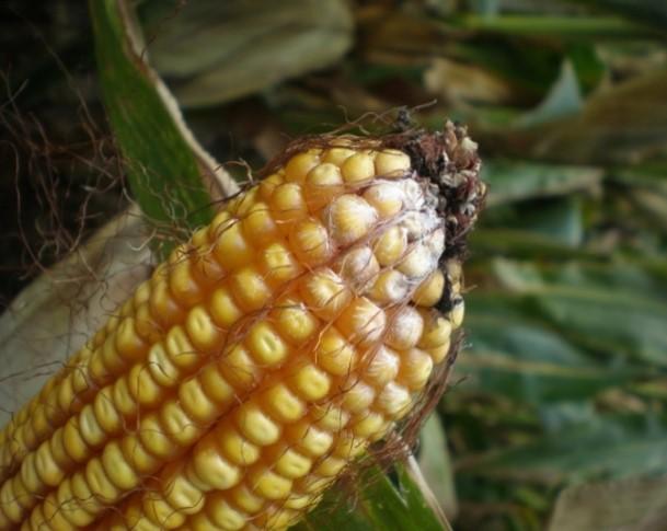 Varietats de blat de moro i tolerància a fumonisines