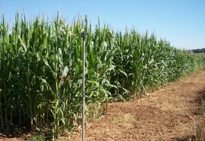 Resultats de la xarxa GENVCE de blat de moro