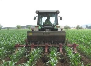 Com adobar el blat de moro depenent de si s'aprofita per gra, farratge o pastone