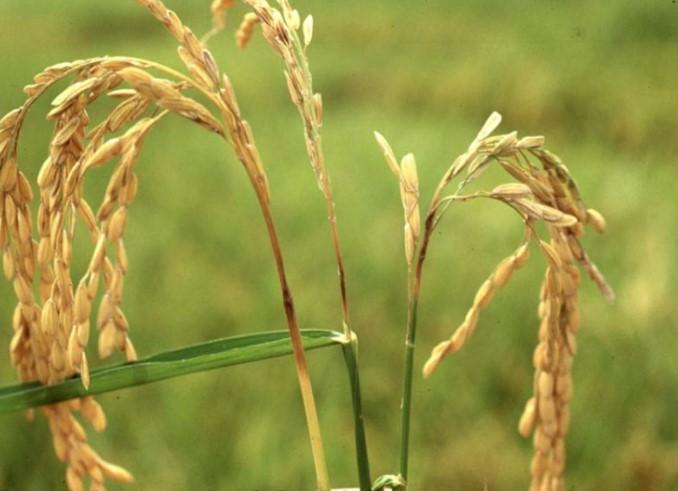 Pyriculariosis a l'arròs