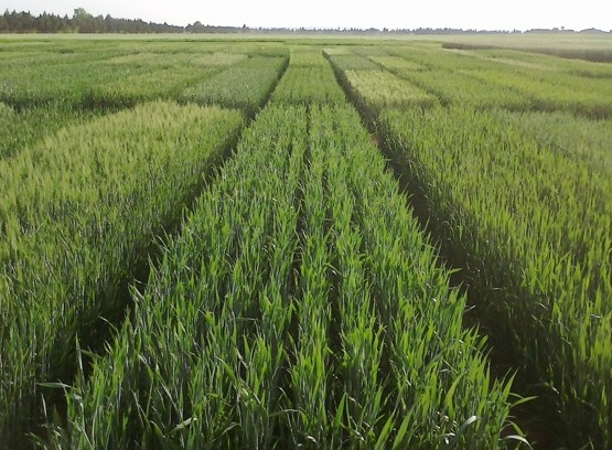 Resultats de les xarxes avaluació varietal de cultius extensius IRTA. Campanya 2017