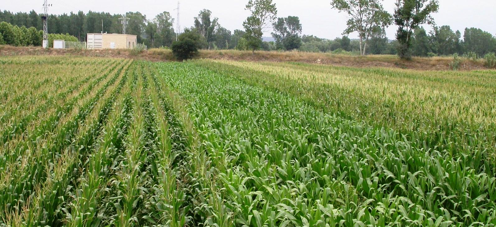 Coexistència i floració en blat de moro