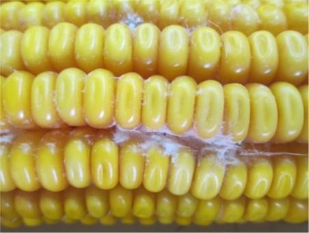 MICOTOXINES: una producció de blat de moro més sana
