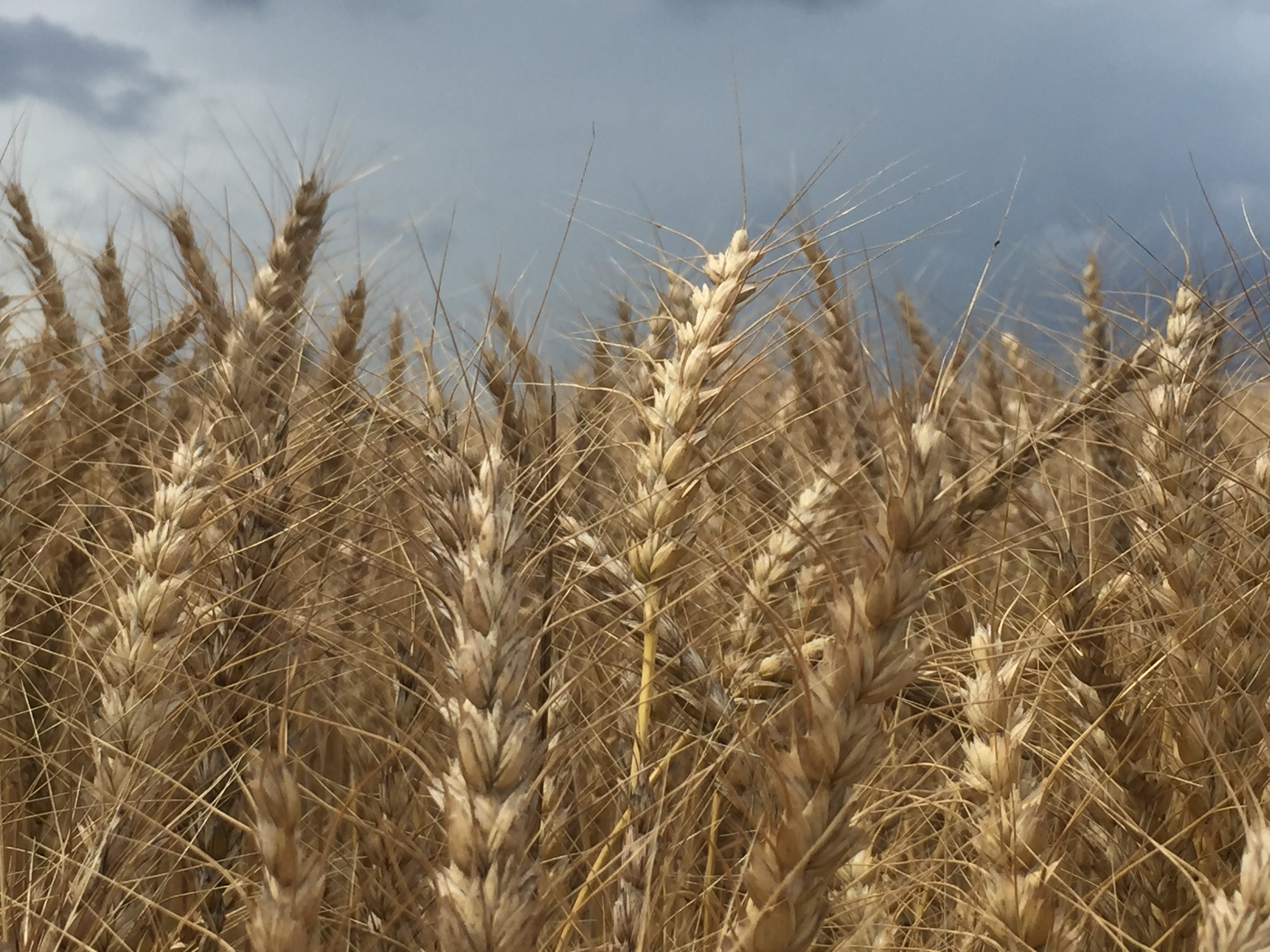 Produir blat amb un pes hectolítric i un contingut en proteïna elevats