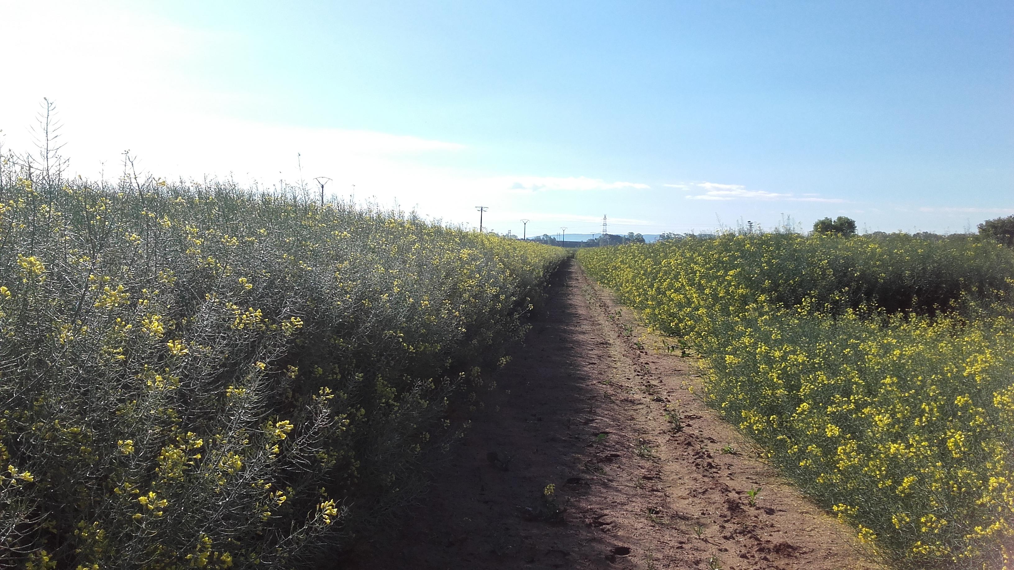 Resultats de les varietats de colza per a la sembra 2018