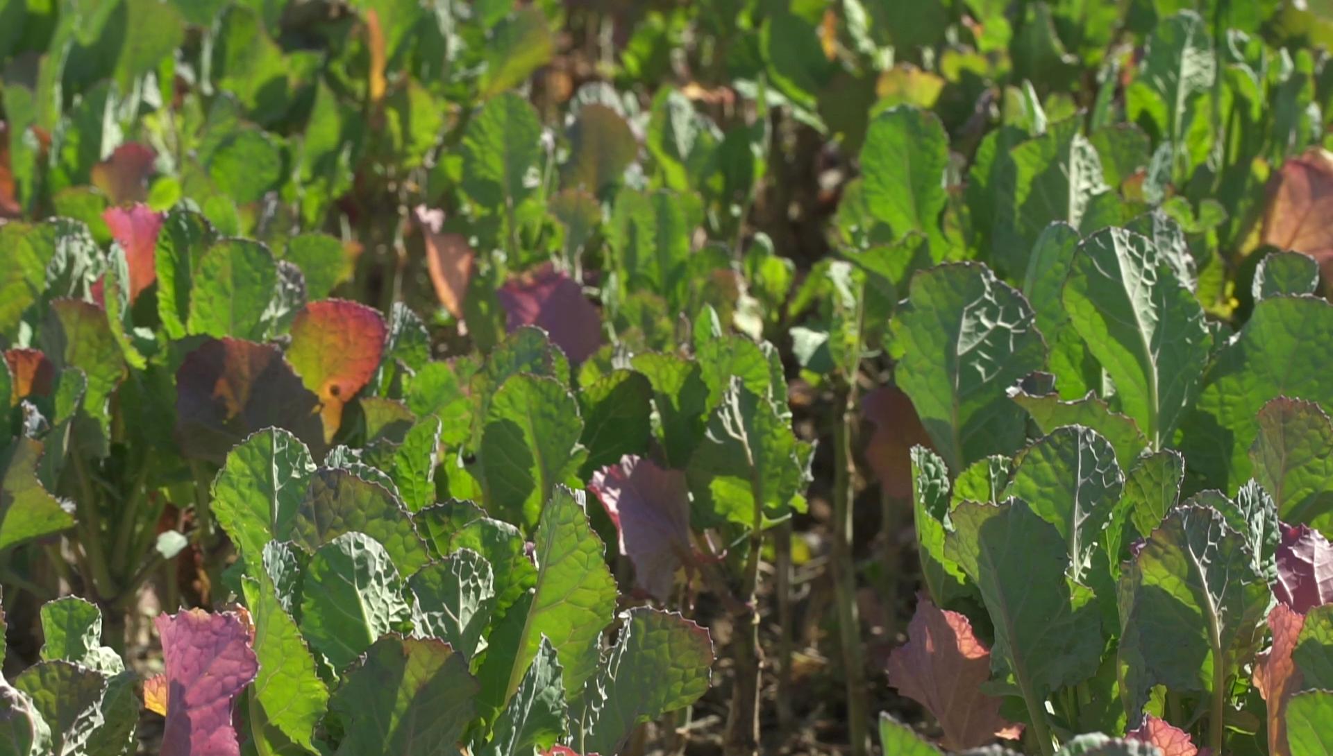 Cultius captadors de nitrogen