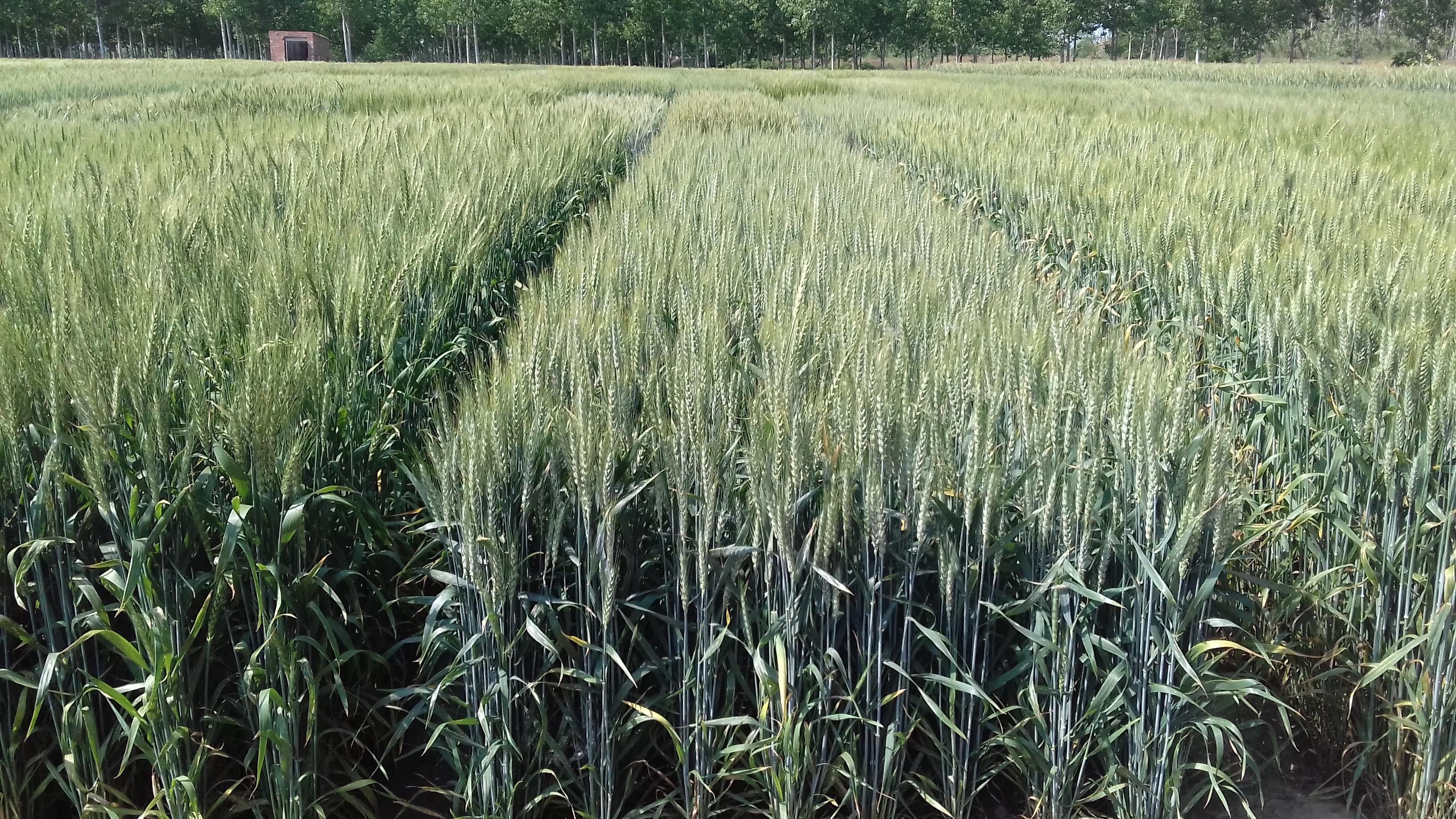 Varietats de blat tou de cicle curt