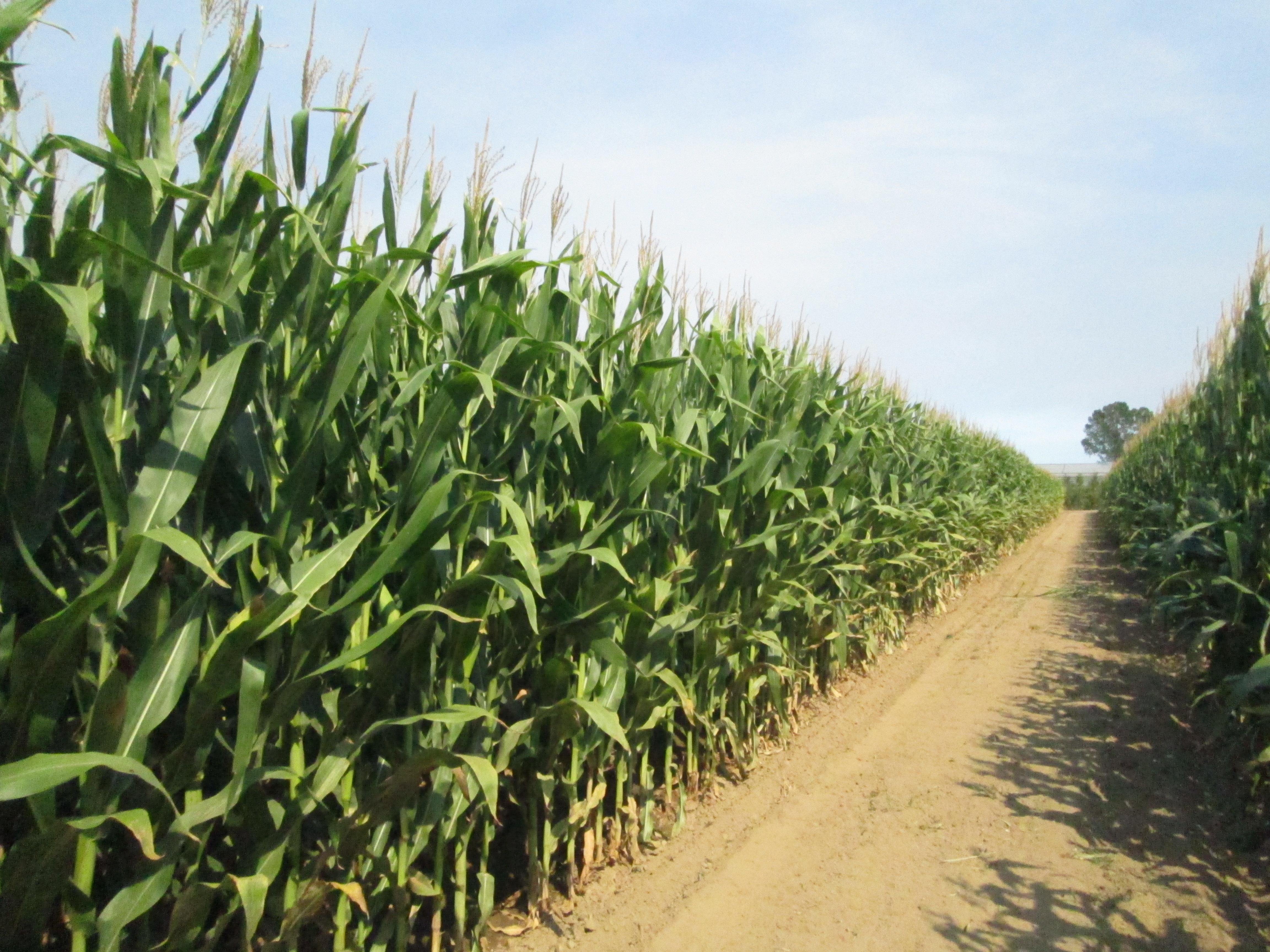 Rotacions de dos cultius en un any, més extraccions de nutrients?