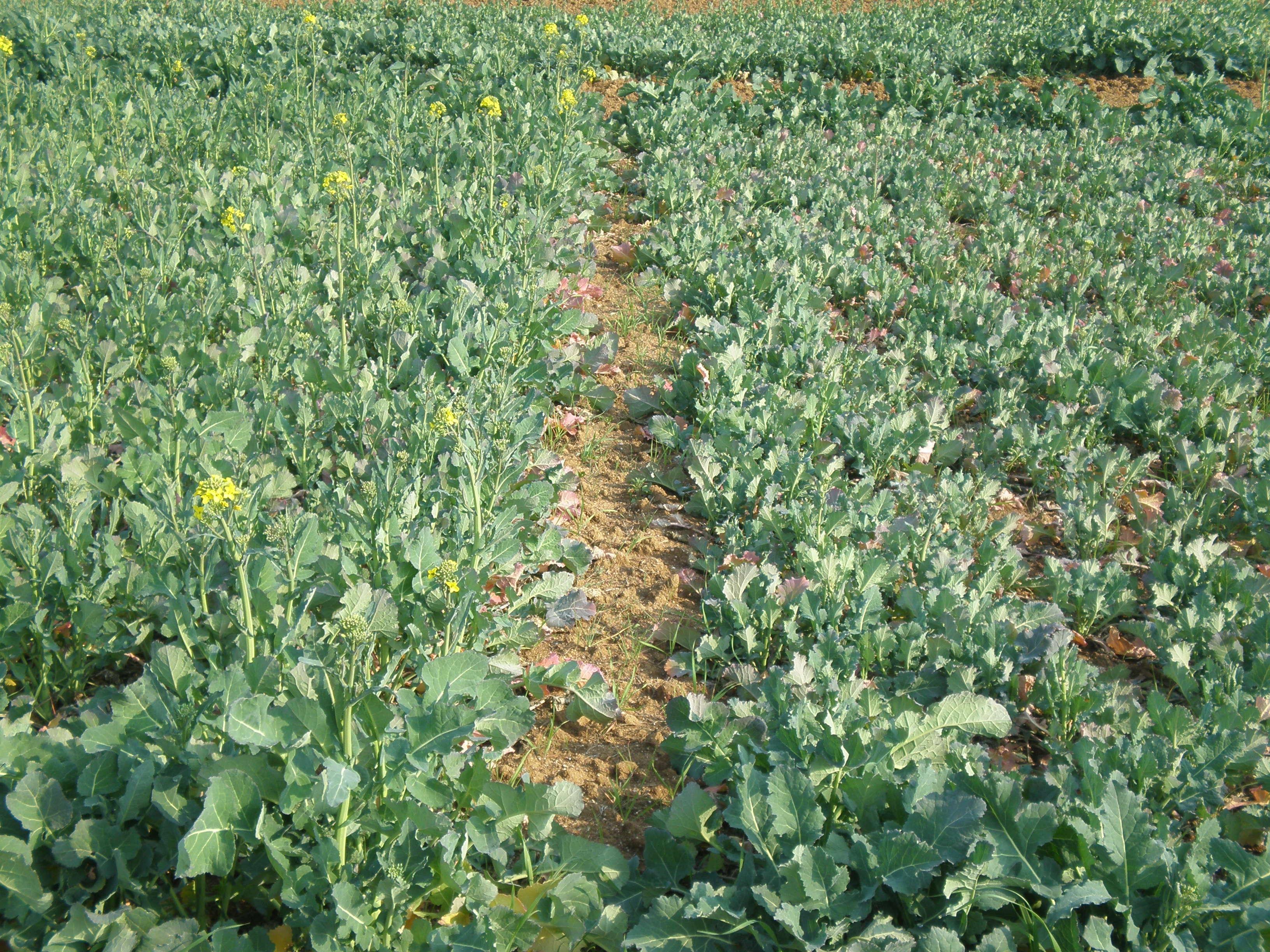N-COLZA: Una eina per a calcular la fertilització nitrogenada en cobertora de la colza