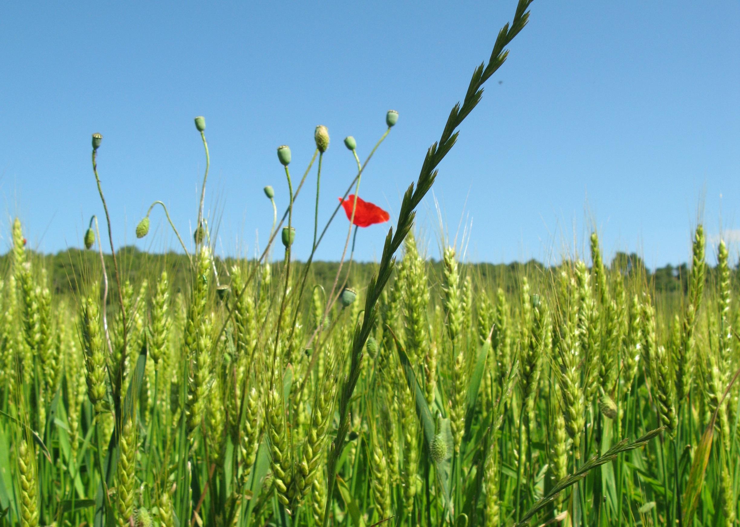La influència de la fertilització sobre les males herbes
