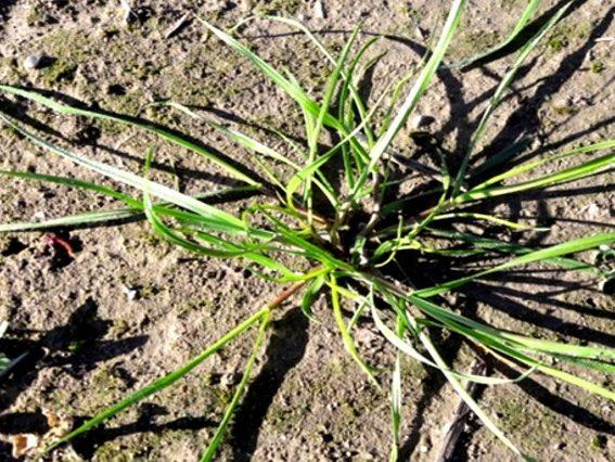 Com identificar males herbes de la família de les gramínies en els primers estadis vegetatius