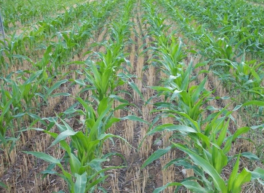 Producció de blat de moro en segona collita. Atenció al cicle !