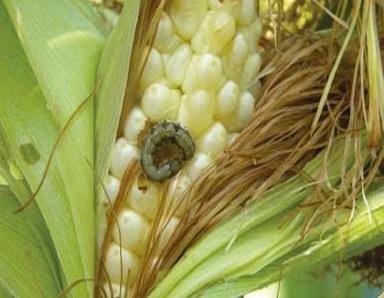 Heliotis en blat de moro