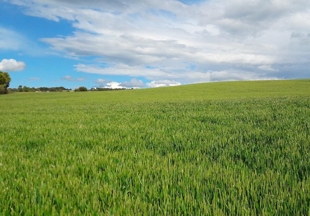 Quins factors s'han mostrat determinants a l'hora de produir blat de qualitat ?