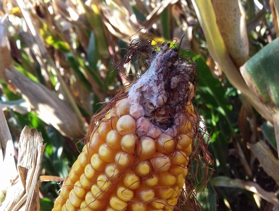 Tolerància a la contaminació per fumonisines de les varietats de blat de moro per a gra