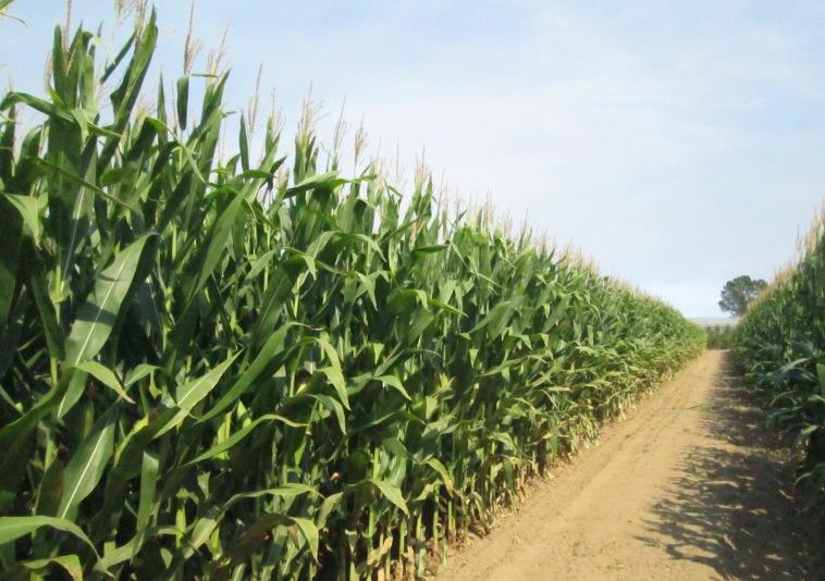 Avançament de resultats dels assaigs de varietats de blat de moro. Campanya 2017.