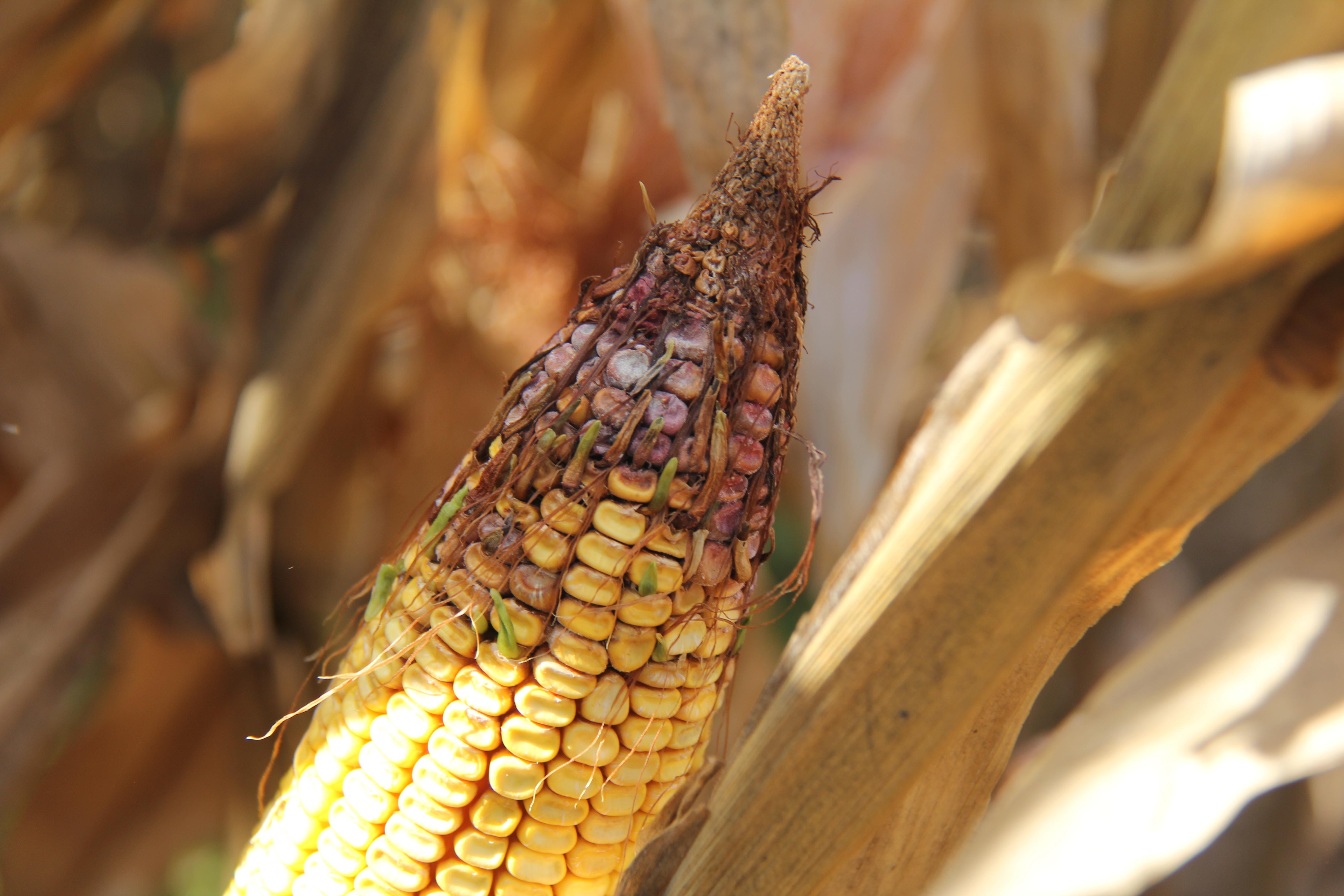 Micotoxines: Qualitat del blat de moro de la collita d'enguany