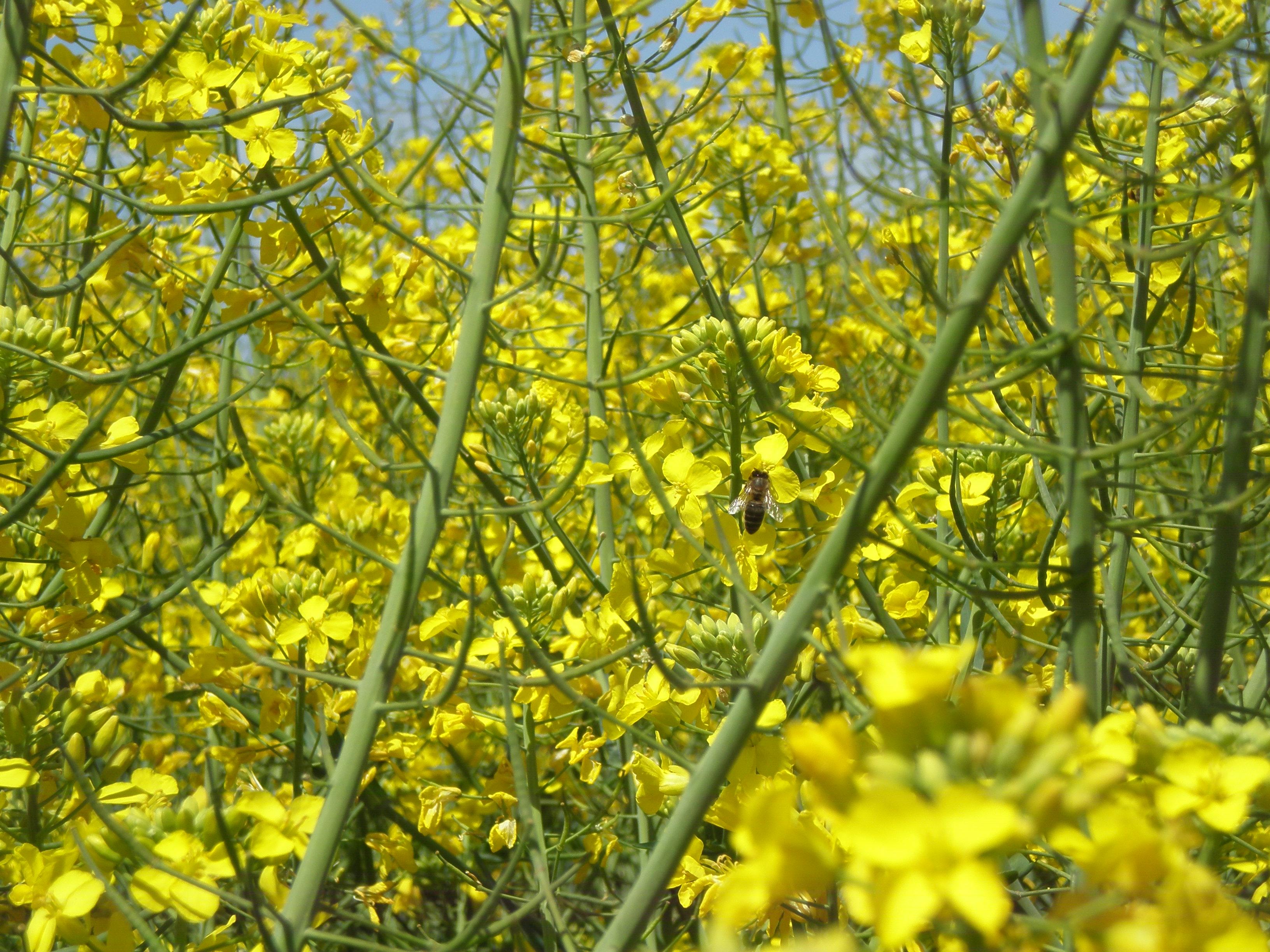 Atenció als tractaments fitosanitaris durant la floració en colza !