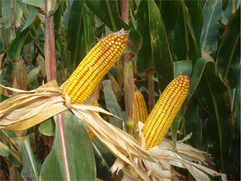 Varietats de blat de moro per a gra de cicles 700 i 600