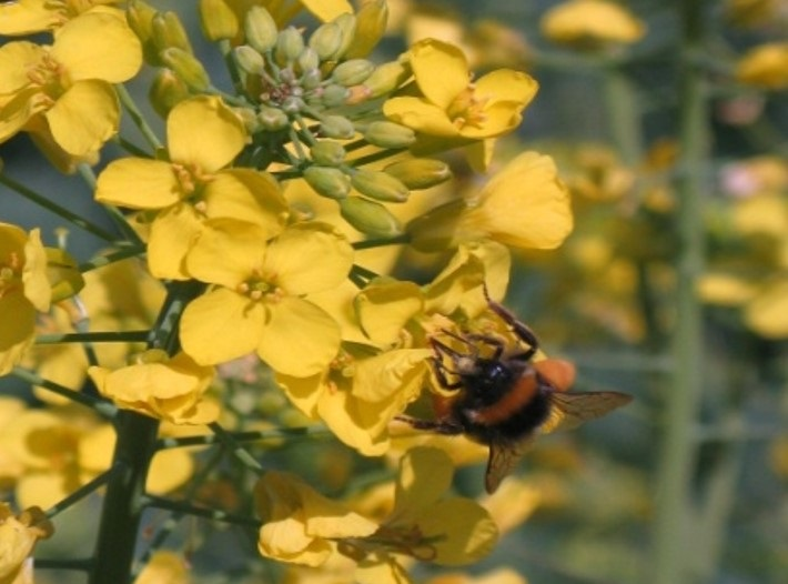 És el període de floració d'alguns cultius