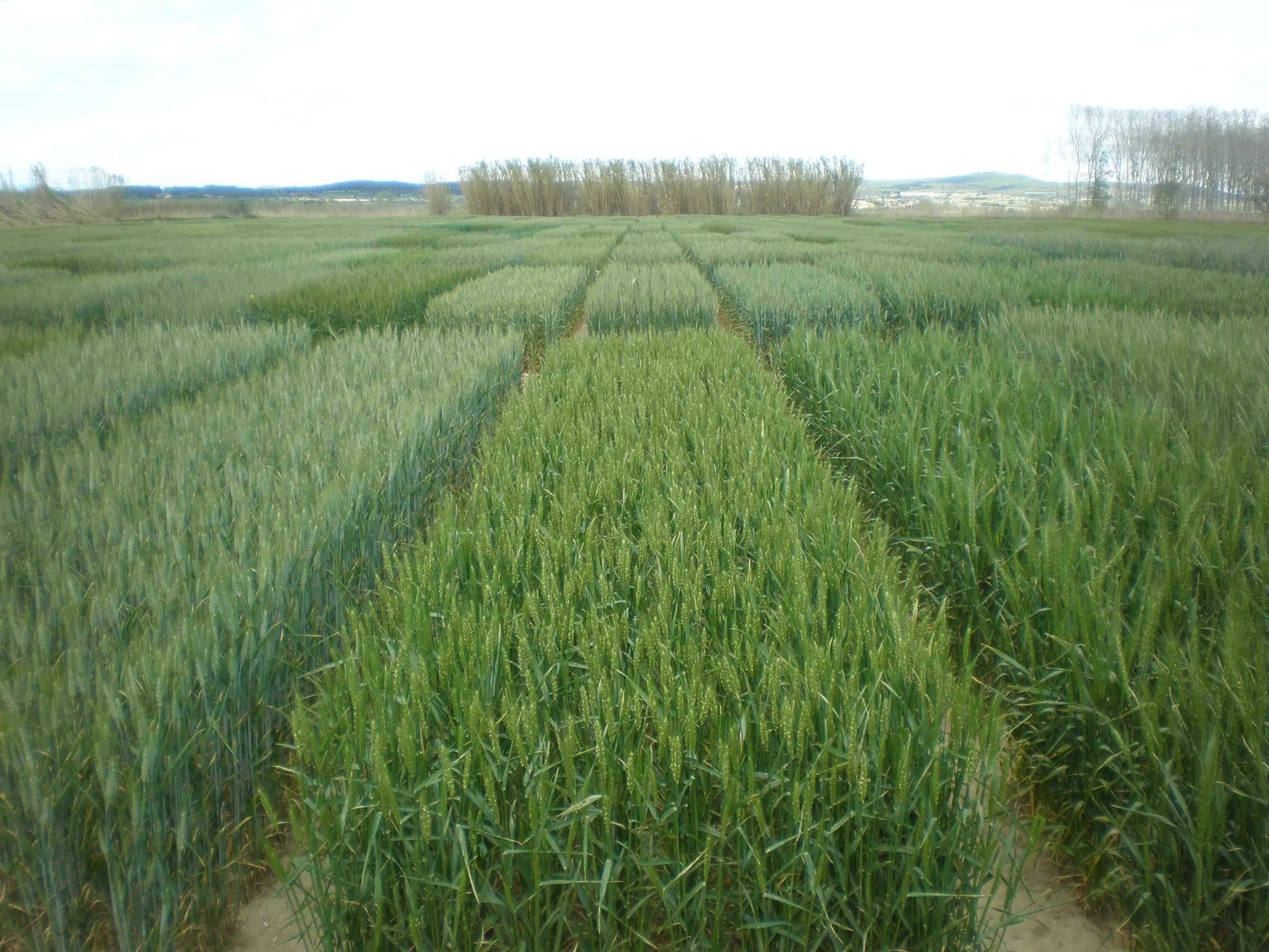 Varietats de blat tou de cicle llarg