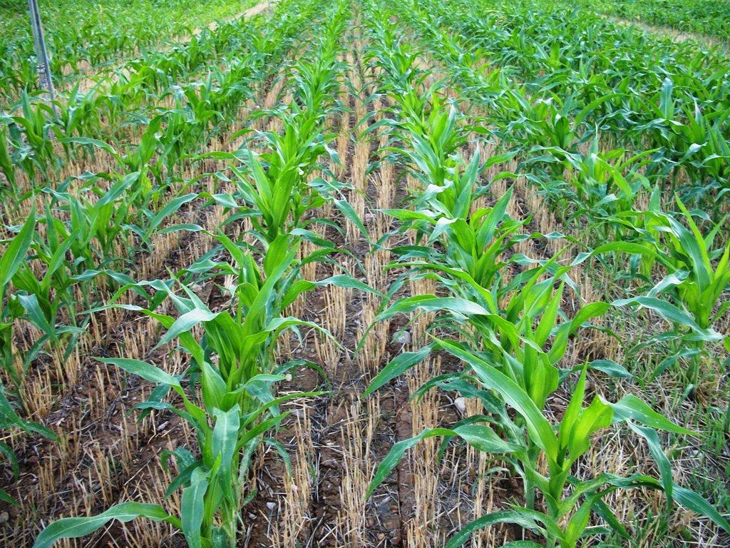 Cal adaptar el cicle del blat de moro a dates de sembra tardanes