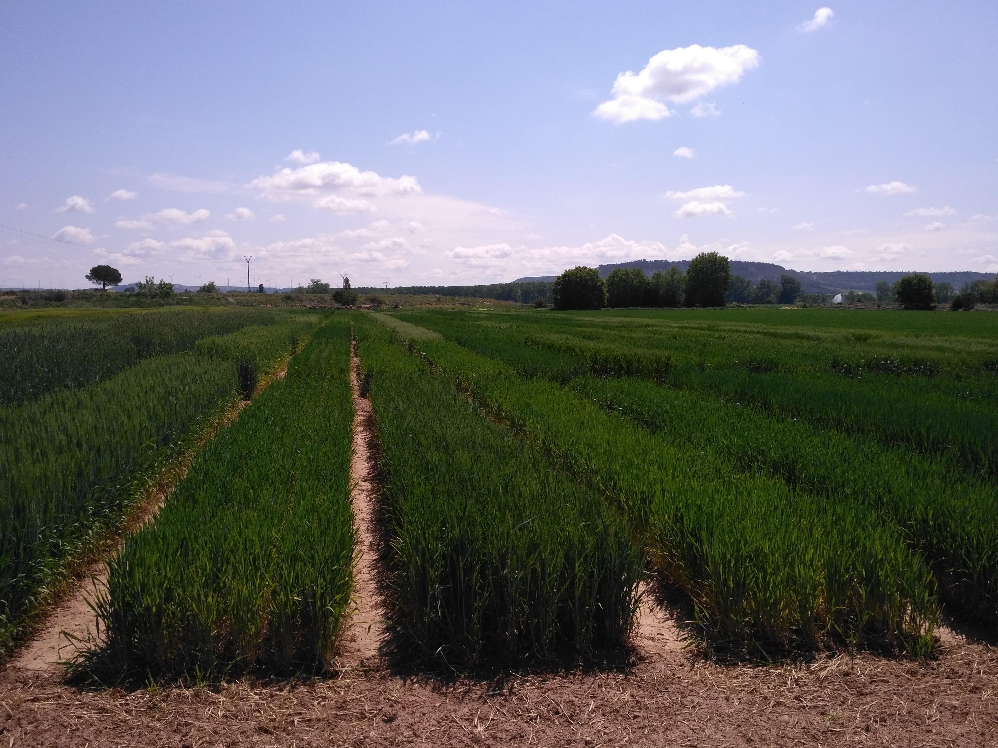 Varietats de blat de cicle llarg de la xarxa GENVCE