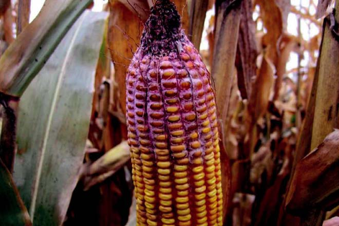 Micotoxines: Qualitat del blat de moro de la província de Girona